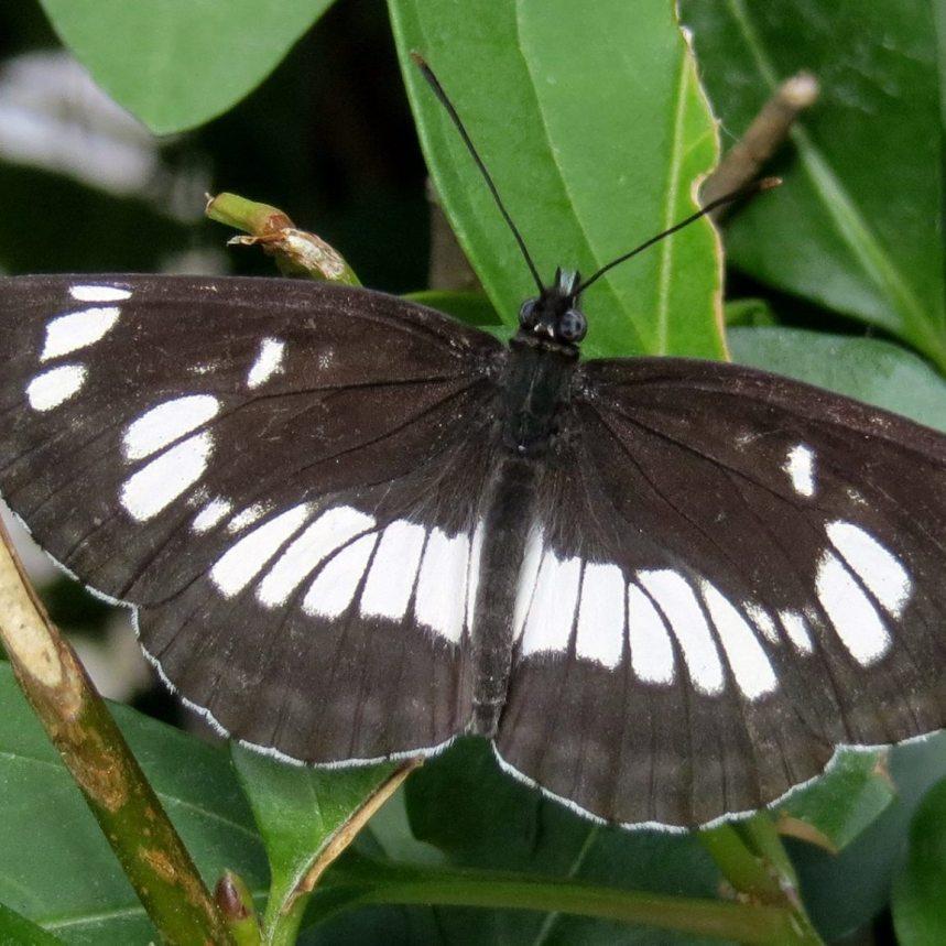 Foto Walter Vojta, Kleiner Eisvogel (Limenitis camilla)