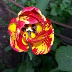 Foto: Gabriele Wolfgruber, Tulpe. Welch wunderbare Farbenkombiationen die Natur hervorbringt!