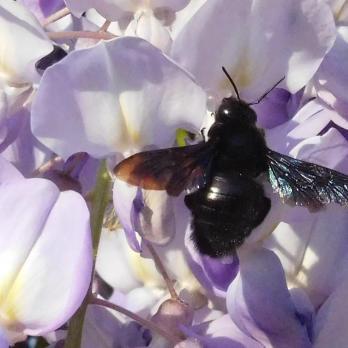Die Holzbiene genießt den prächtigen Blauregen