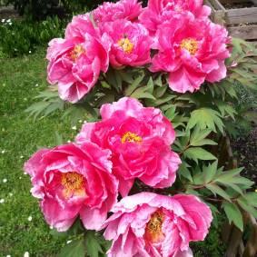 Foto: Birgit Aschemann: Prächtige Pfingstrosen, ein Blumenwunder am 1. Mai